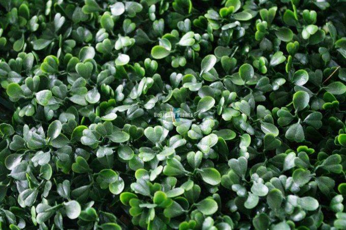Boxwood Hedges Close Up